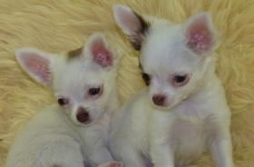 kleine Chihuahua-Langhaar Babys