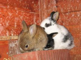 Foto 2 kleine Kaninchen abzugeben