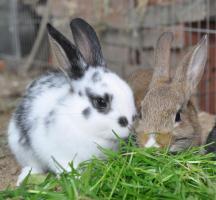 Foto 3 kleine Kaninchen abzugeben