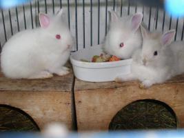 Foto 3 kleine Löwenköpfchen-Zwergkaninchenkinder abzugeben