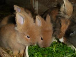 Foto 4 kleine Löwenköpfchen-Zwergkaninchenkinder abzugeben