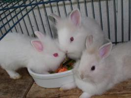 Foto 5 kleine Löwenköpfchen-Zwergkaninchenkinder abzugeben