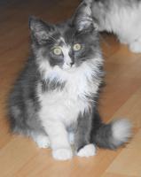 kleine Norwegische Waldkatze Kitten sucht ...