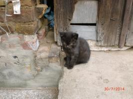 kleine Persamix Katzenkinder