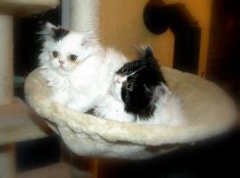 Foto 3 kleine Perserkatzen suchen ein neues Zuhause!