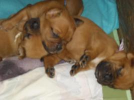Foto 5 kleine Wrommels-Bordeauxdoggen