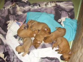 Foto 6 kleine Wrommels-Bordeauxdoggen