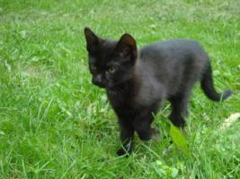 Foto 3 kleine schwarze Kätzchen abzugeben