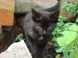Foto 4 kleine schwarze Kätzchen abzugeben