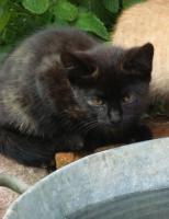 Foto 5 kleine schwarze Kätzchen abzugeben