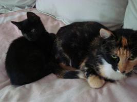 Foto 6 kleine schwarze Kätzchen abzugeben