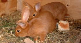 Foto 3 kleine süße Kanninchen suchen ein Zuhause