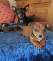 kleiner Ratter - Jack-Russel Mix, 11 Wochen aus liebevoller Familienaufzucht