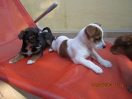 Foto 2 kleiner Ratter - Jack-Russel Mix, 11 Wochen aus liebevoller Familienaufzucht