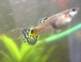 Foto 4 kleiner Schwarm Guppys Poecilia auch Tausch gegen Garnelen