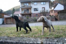 kleiner zarter silberner Labrador Welpe aus Familien Hausaufzucht mit 6 Kindern abzugeben