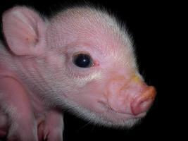 kleinste minischweinchen (american/minesota minipig)