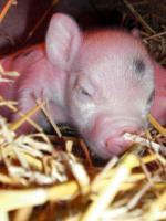 Foto 4 kleinste minischweinchen (american/minesota minipig)