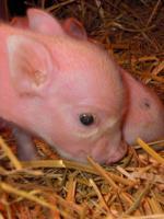 Foto 5 kleinste minischweinchen (american/minesota minipig)