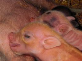 Foto 6 kleinste minischweinchen (american/minesota minipig)