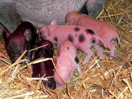 Foto 7 kleinste minischweinchen (american/minesota minipig)