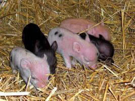 Foto 10 kleinste minischweinchen (american/minesota minipig)