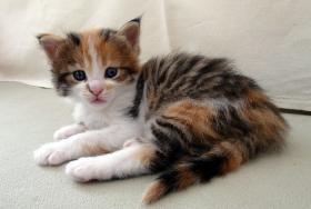 knuddelige Maine Coon Kitten aus getesteten Linien