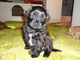 knuddelige Tibet-Terrier-Welpen