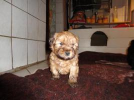 Foto 4 knuddelige Tibet-Terrier-Welpen