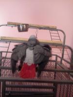 Foto 2 kongo grau papagei