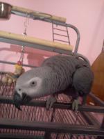 Foto 3 kongo grau papagei