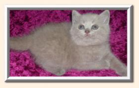 kugelrunde BKH Kitten in lilac