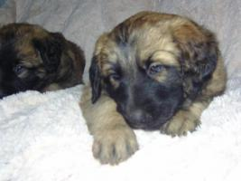 Foto 2 leonberger mix welpen