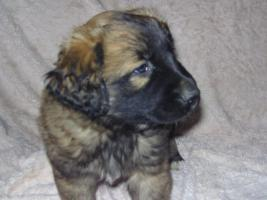 Foto 3 leonberger mix welpen