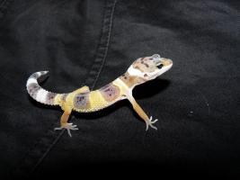 Foto 4 leopardgecko-nachzucht 2011