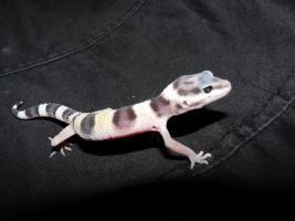 Foto 5 leopardgecko-nachzucht 2011