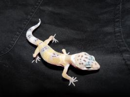 Foto 7 leopardgecko-nachzucht 2011