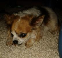 liebebedürftiger kleiner Chihuahua in liebevolle Hände abzugeben