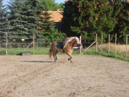Foto 2 lieben 6J. angelernten Haflinger