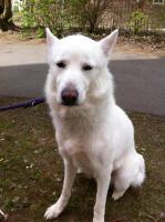 Foto 4 lieber weisser husky mix rüde