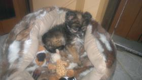Foto 3 liebes Chihuahua Baby Mädchen an  Mensch mit Herz abzugeben