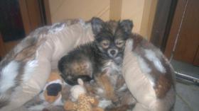 Foto 4 liebes Chihuahua Baby Mädchen an  Mensch mit Herz abzugeben
