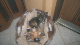 Foto 5 liebes Chihuahua Baby Mädchen an  Mensch mit Herz abzugeben