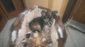 Foto 6 liebes Chihuahua Baby Mädchen an  Mensch mit Herz abzugeben