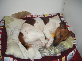 liebevoller Jack Russell Terrier
