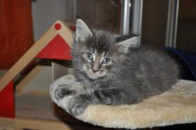maincoon kitten in wildoptik
