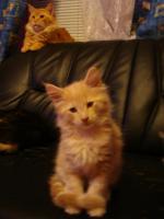 Foto 2 maine coon XXL kitten (ohne papiere)