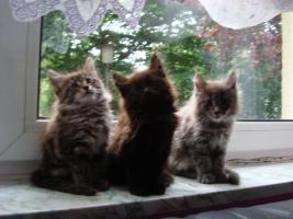 Foto 3 maine coon XXL kitten (ohne papiere)