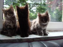 Foto 4 maine coon XXL kitten (ohne papiere)