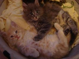 Foto 5 maine coon XXL kitten (ohne papiere)